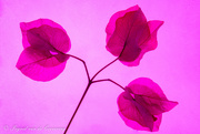 11th Jan 2021 - Bugambillia flowers...