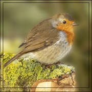 11th Jan 2021 - Puffed up Robin