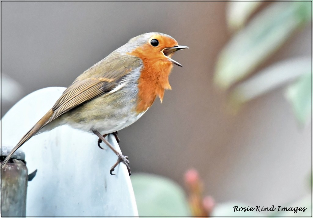 Another robin singing to me by rosiekind