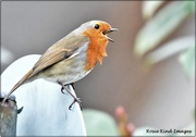 11th Jan 2021 - Another robin singing to me
