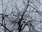 11th Jan 2021 - Bare Branches & Birds