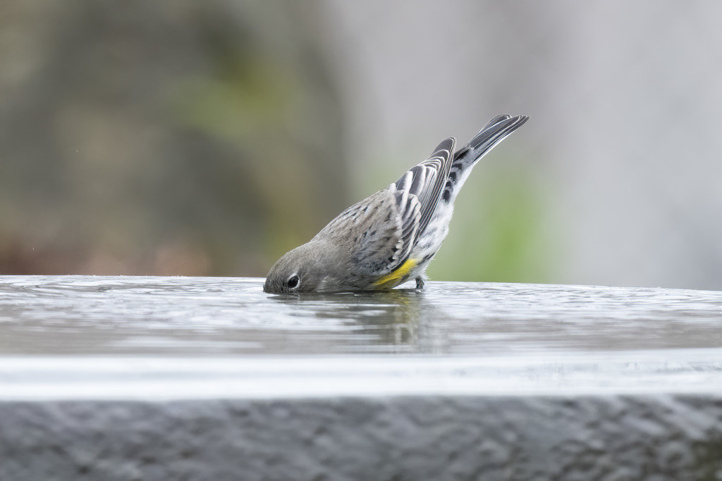 Yellow-rumped Warbler by mikegifford