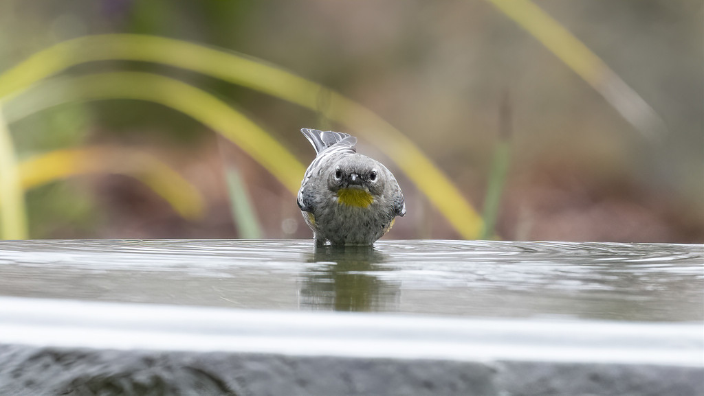 Yellow-rumped Warbler with an attitude! by mikegifford