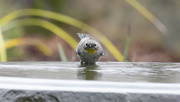 11th Jan 2021 - Yellow-rumped Warbler with an attitude!