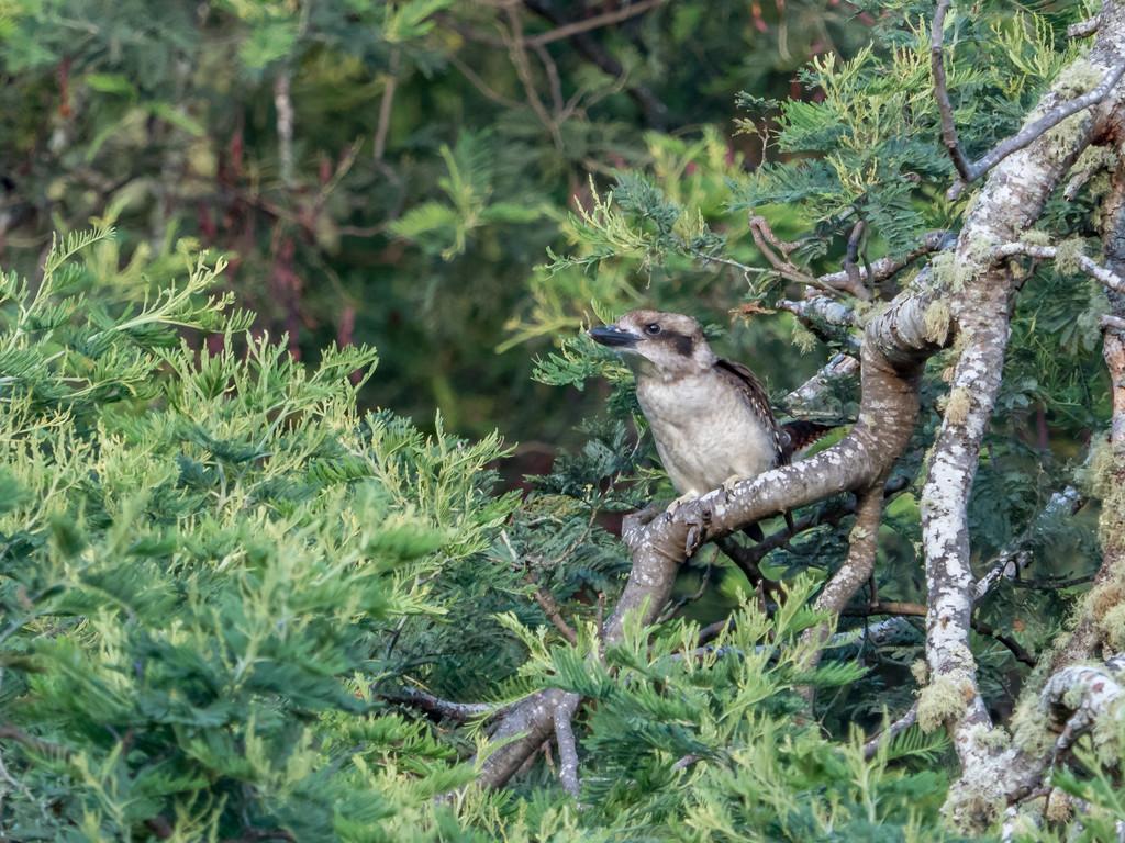 Young kookaburra by gosia