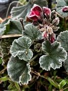 11th Jan 2021 - Old geranium