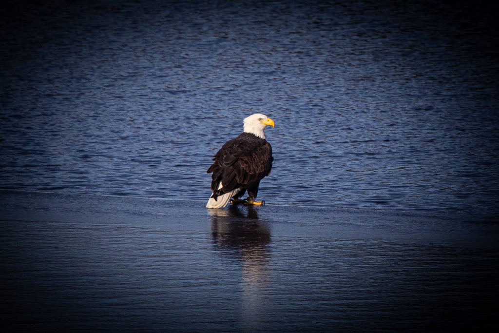 Bald Eagle doing a little ice fishing by habit
