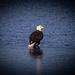 Bald Eagle doing a little ice fishing