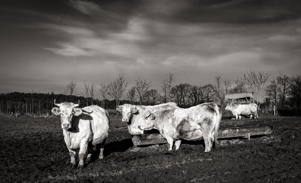 Charolais Cattle... by vignouse