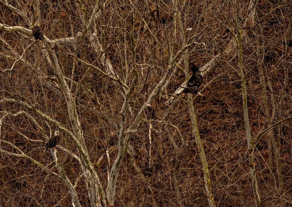 Find the hidden eagles by samae