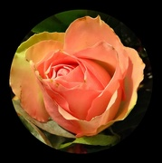 12th Jan 2021 - rose