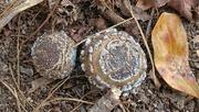 12th Jan 2021 - Unusual puff ball fungi...