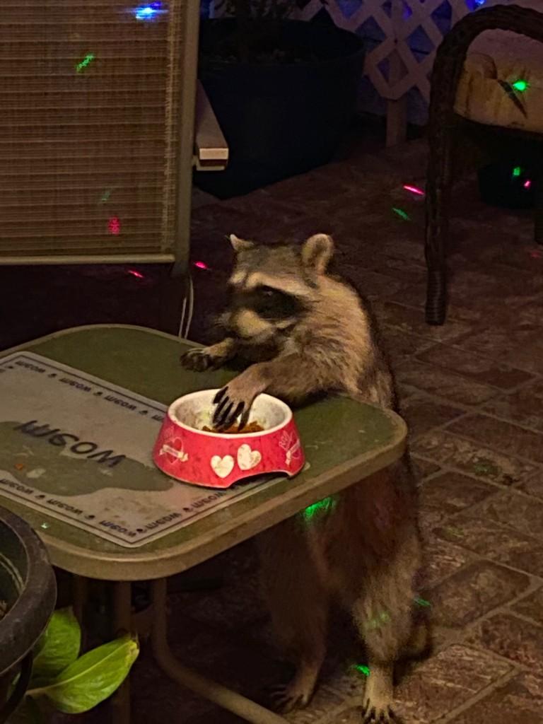 Cat Food Bandit by msfyste
