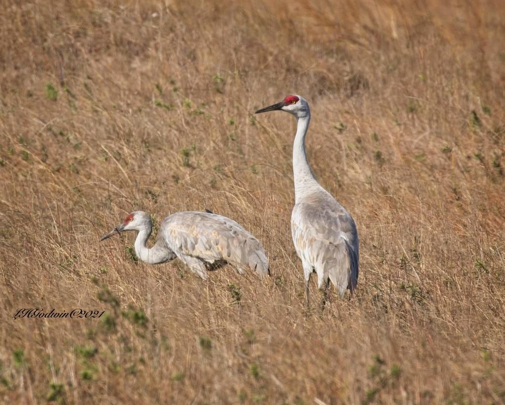 LHG-3260- Sandhill Cranes Padre Island by rontu