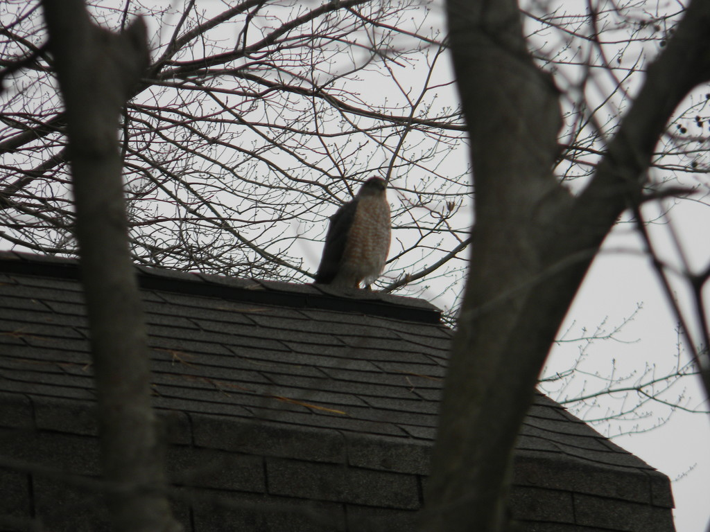 Peregrine Falcon on Shed by sfeldphotos
