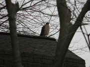 11th Jan 2021 - Peregrine Falcon on Shed
