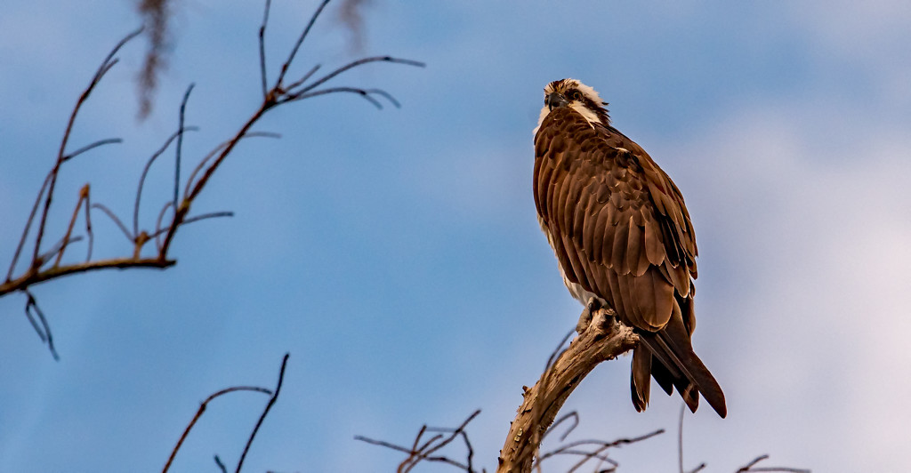 One of the Ospreys Showed Up Today! by rickster549