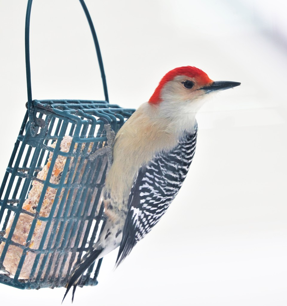 Red Bellied Woodpecker by lynnz