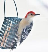 9th Jan 2021 - Red Bellied Woodpecker