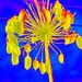 Dying Agapantha stem