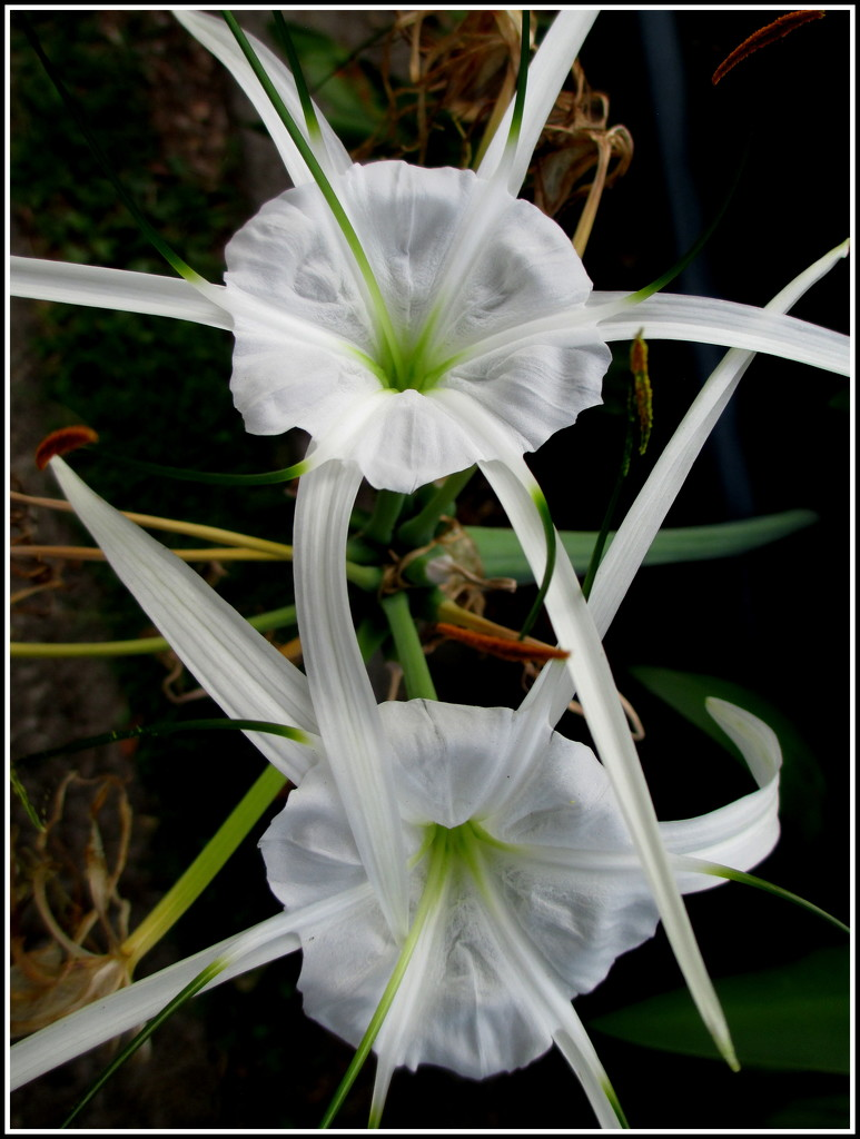 Spider Lilly by 777margo