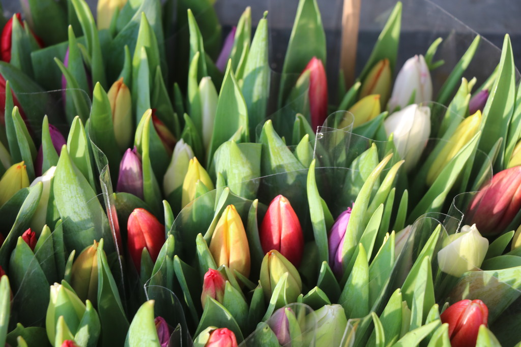 First tulips by momamo