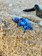 12th Jan 2021 - Blue dragon