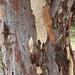 Abstract Eucalyptus
