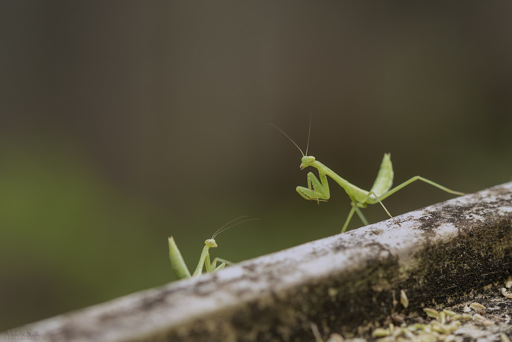 Praying Mantises by nickspicsnz