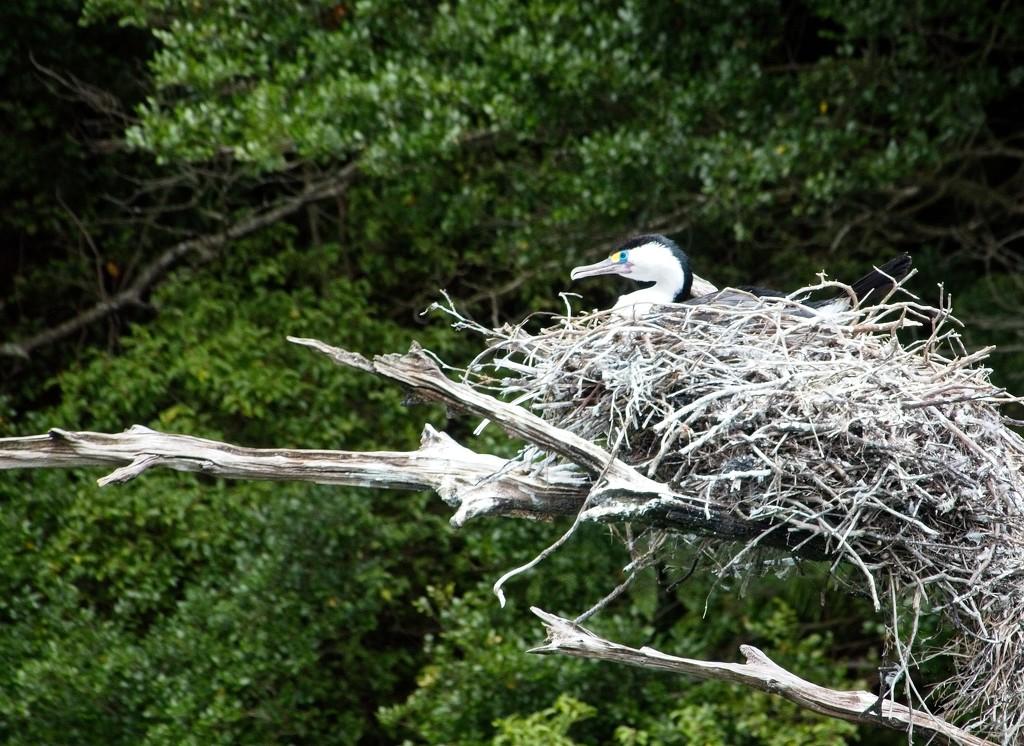 Nesting shag by kiwinanna