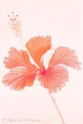 12th Jan 2021 - Hibiscus flower