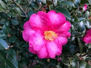 12th Jan 2021 - The glorious color of camellias in full bloom now