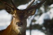 12th Jan 2021 - A deer
