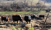 12th Jan 2021 - Cows