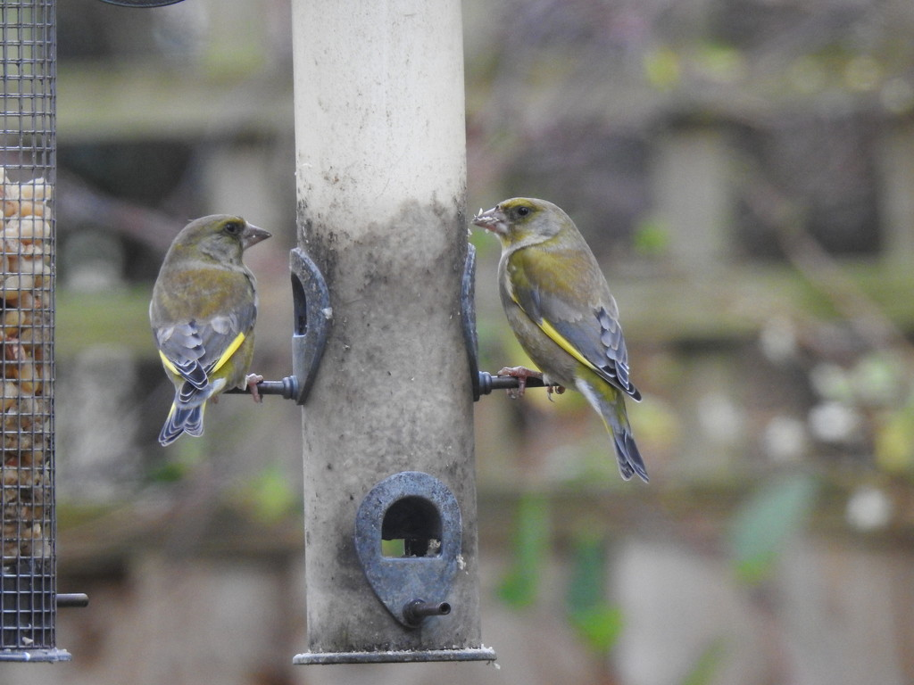 Greenfinches  by susiemc