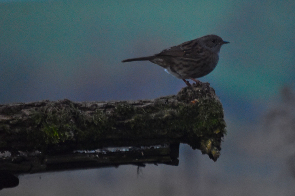Mrs Dunnock by grizzlyadventures