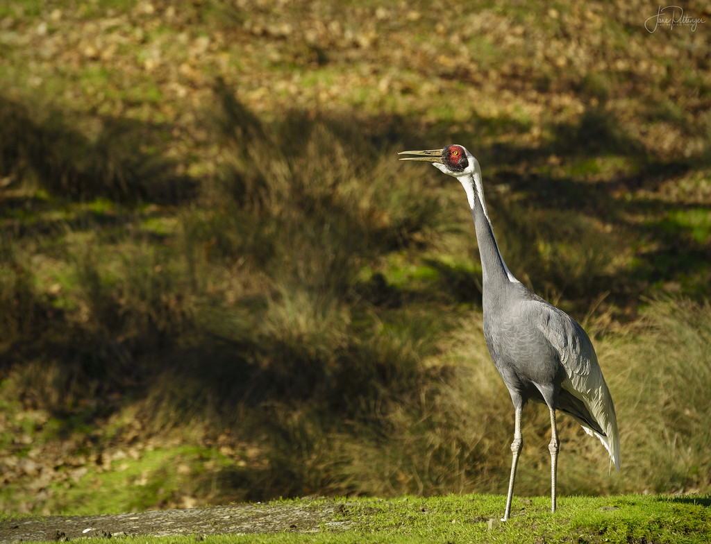 Sandhill Crane Has A Lot To Say  by jgpittenger