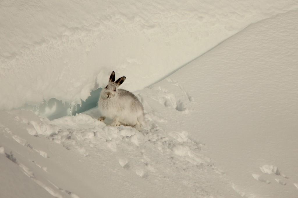 Mountain Hare by jamibann