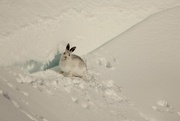 12th Jan 2021 - Mountain Hare