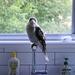 Kookaburra Sits on the Kitchen Tap . . . .