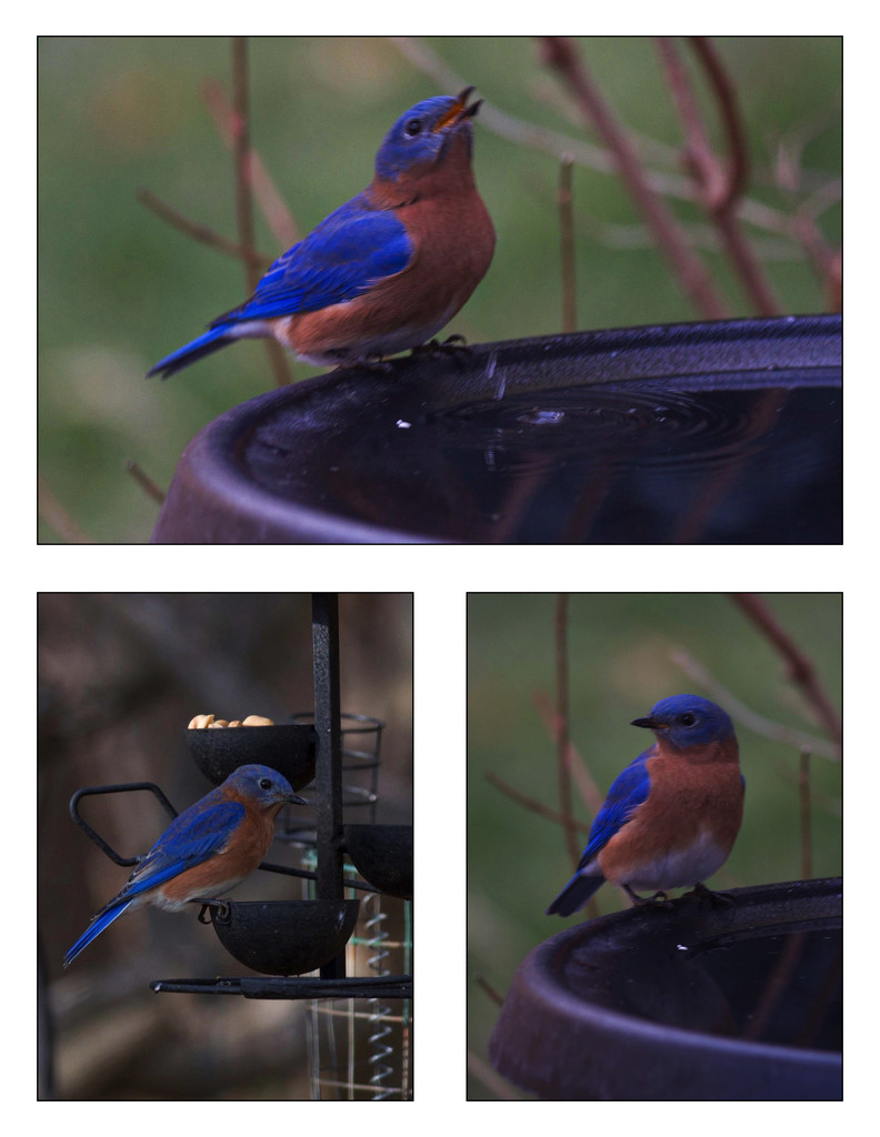 More Bluebirds by berelaxed