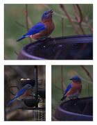 12th Jan 2021 - More Bluebirds