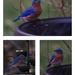More Bluebirds