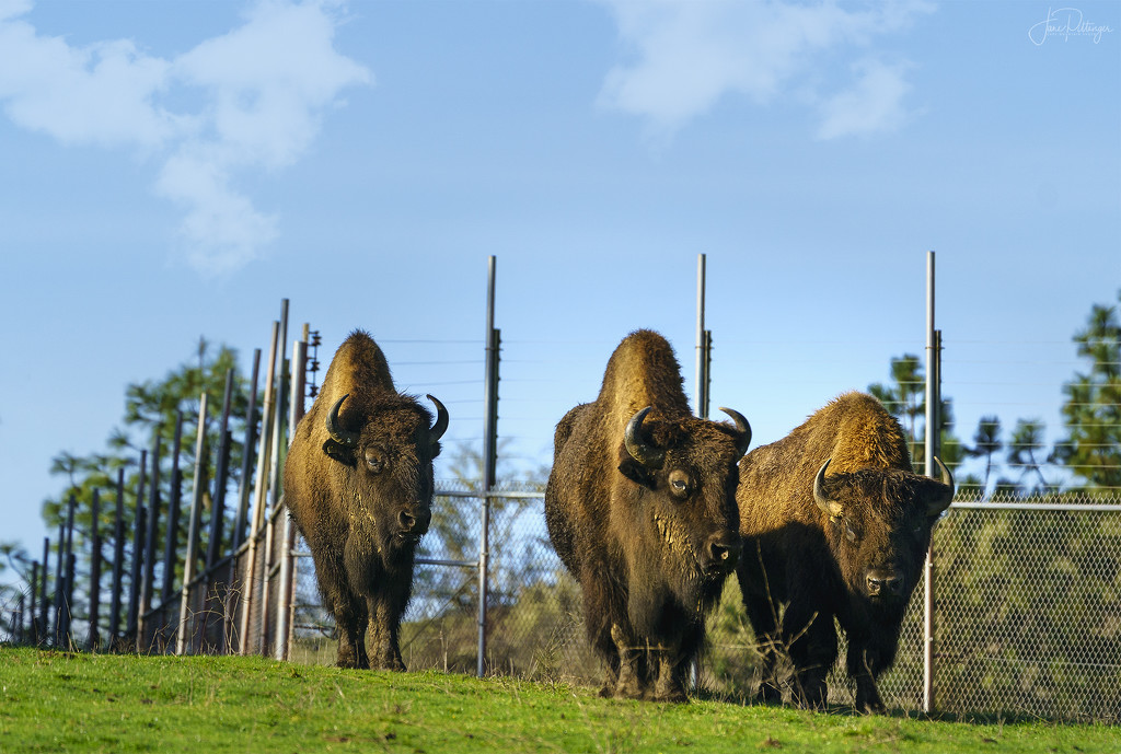 Bison Approach  by jgpittenger