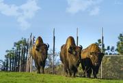 13th Jan 2021 - Bison Approach
