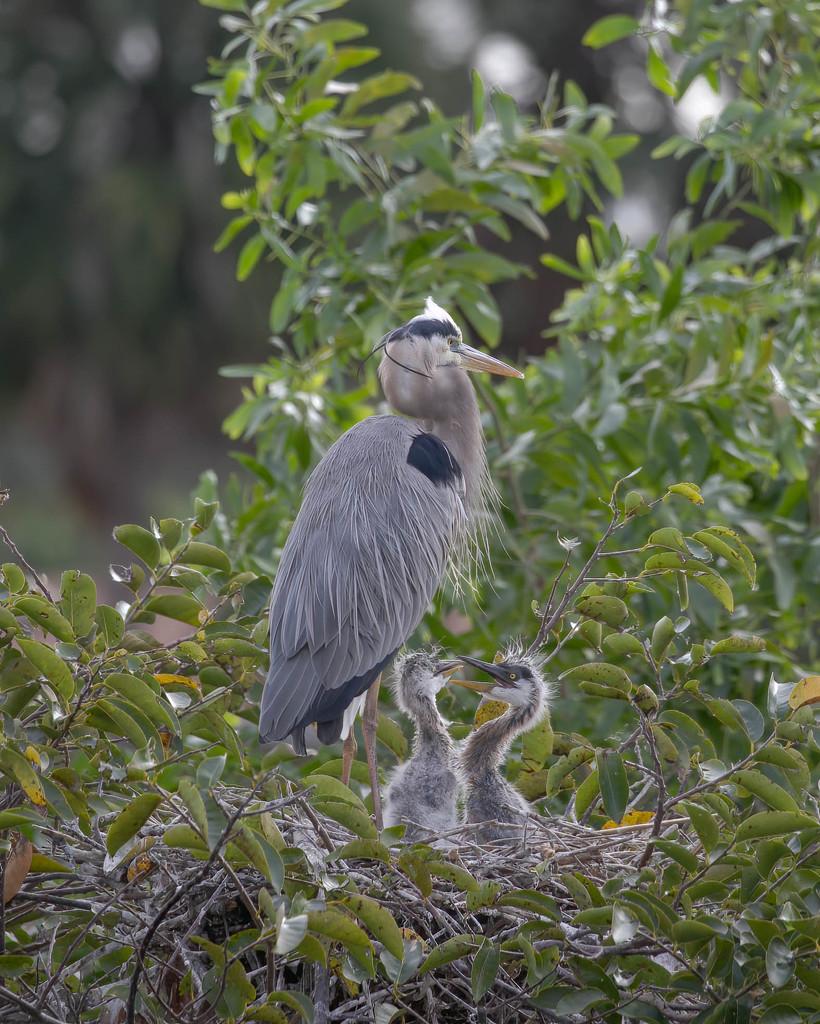 Growing Heron babies by dutchothotmailcom