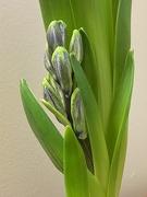 12th Jan 2021 - Hyacinth