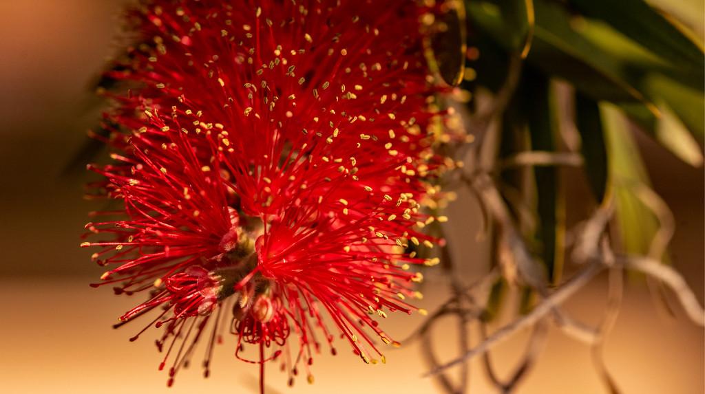 Bottle Brush Flower! by rickster549