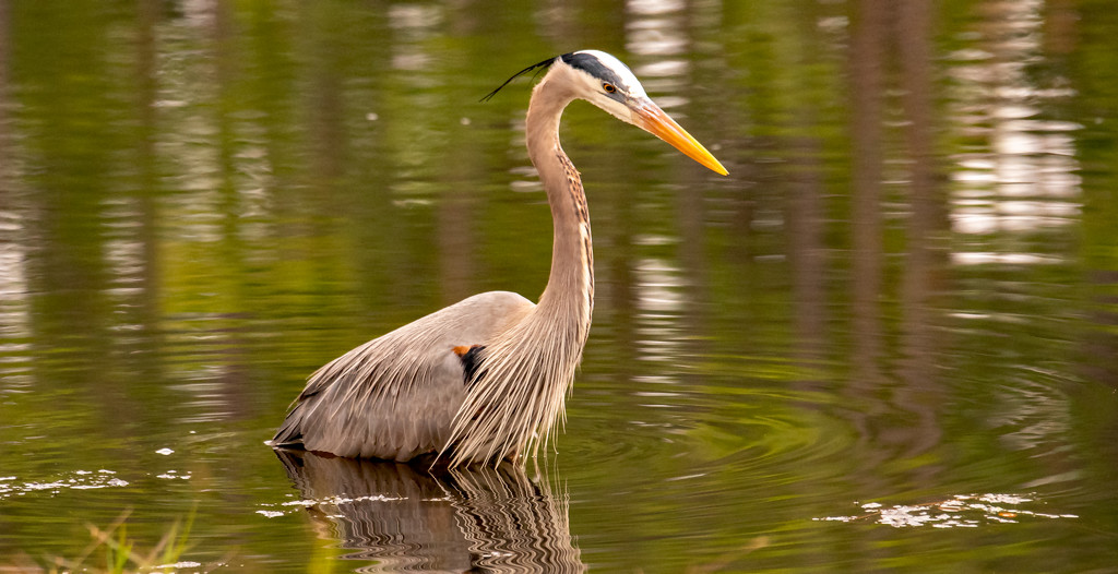 The Blue Heron Was Back Today! by rickster549