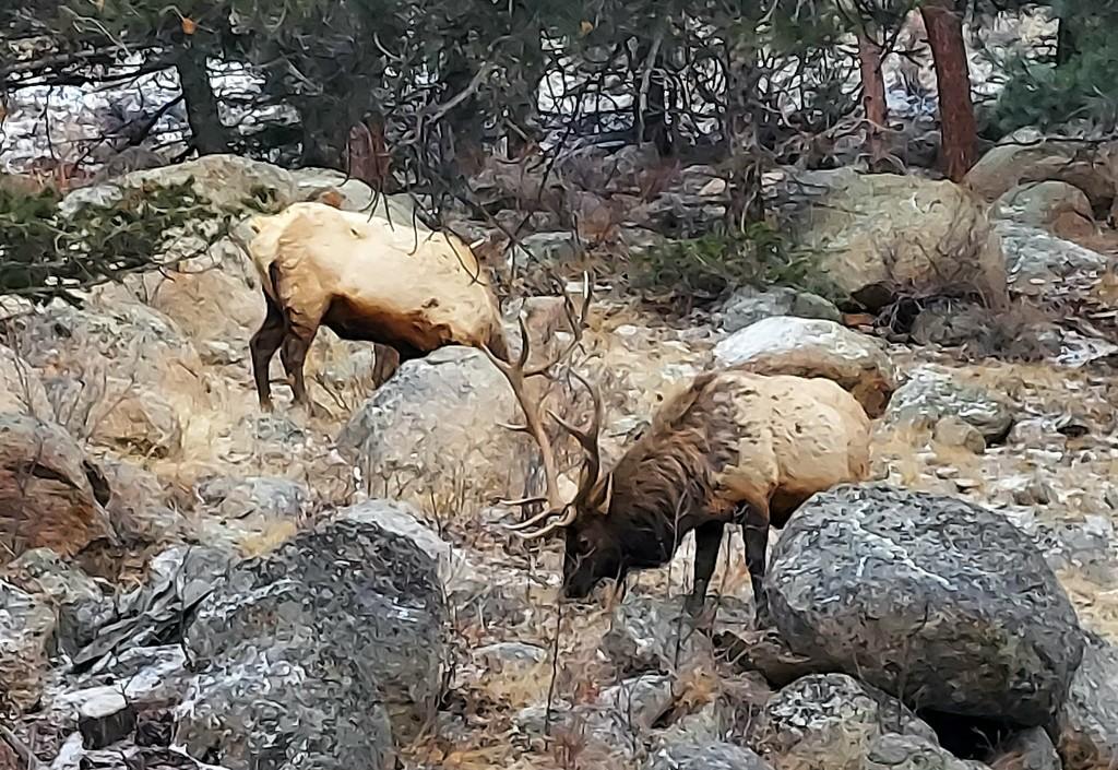 Elk Foraging  by harbie